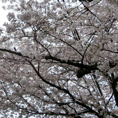 桜のトンネルをしたから見上げたところ