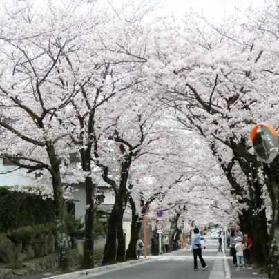 道の左右から桜の枝が伸びて綺麗なトンネルを作っています。