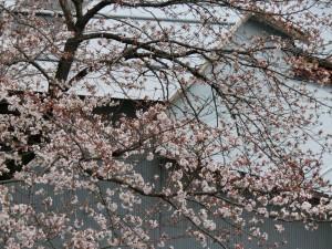 神崎(株)・快適空間スクリオ・神崎屋に咲く桜をビルの西側から撮ったようす。川面に桜がかかっています。