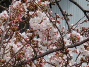 神崎(株)・快適空間スクリオ・神崎屋に咲く桜をビルの西側から撮ったようす。桜の花をアップで撮っています。