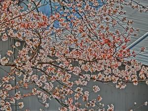 神崎(株)・快適空間スクリオ・神崎屋の敷地に咲く桜は七分咲きをアップで撮った様子