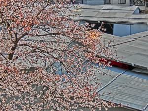 神崎(株)・快適空間スクリオ・神崎屋の敷地に咲く桜は七分咲き
