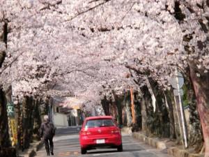 箕面にある桜のトンネルの下を赤いフォルクスワーゲンの自動車が通っています。