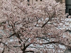 神崎(株)・快適空間スクリオ・神崎屋の桜が満開になっている様子をアップで撮影