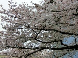 箕面市営瀬川団地の桜