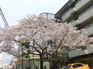 ご近所の某マンションに植わってる桜