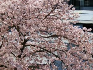 南側の敷地に植わる当社の桜は、昨日の雨で洗われてむしろ綺麗に咲いています