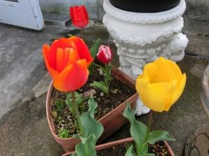 赤色のチューリップが左に一輪、その右に黄色ののチューリップが一輪が鉢植えに植わっています。