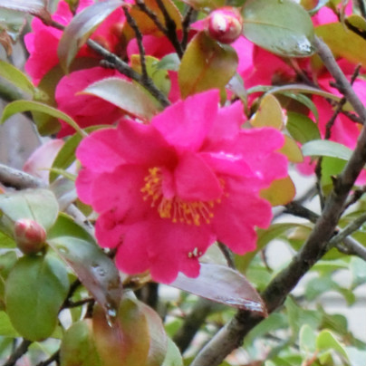 赤い梅の花が一輪