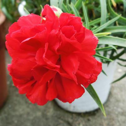 白い鉢に赤いカーネーションが一輪咲いています。
