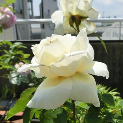 白い薔薇のはなの背景にはビルが見えます。