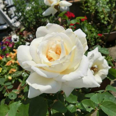 鉢植えのなかに白い薔薇の花が一輪咲いています。