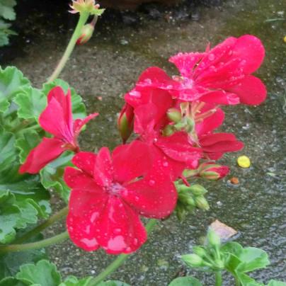 赤い花が雨に濡れている様子