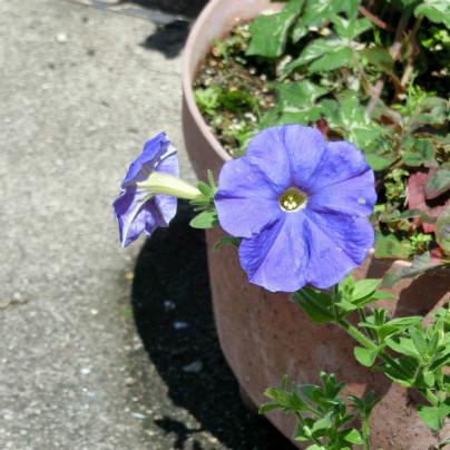 紫のパンジーが二輪、植木鉢に咲いています。日差しが強く植木鉢に濃い蔭ができています。