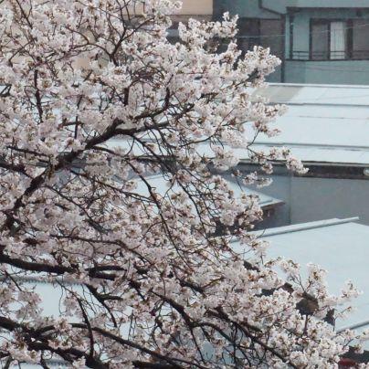 枝振りのよい桜がほぼ満開です