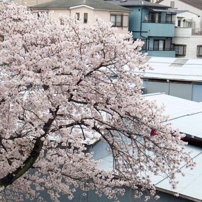 神崎(株)に植わる桜の木が満開