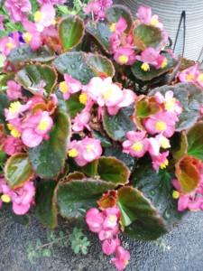 わが家の庭に咲くペチュニア。濃いピンク色です