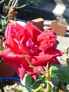 わが家に咲く真っ赤な薔薇が一輪