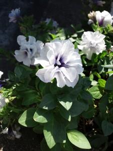 わが家の庭で咲く薄紫の花。