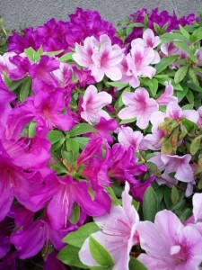 赤みがつよい濃い紫色のつつじと、薄ピンク色のつつじが緑の葉っぱととも画面いっぱいにひろがっています。