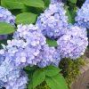紫陽花がきれいに咲いていました