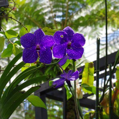 奇跡の星の植物館の洋蘭