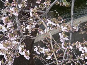 神崎(株)の南側で咲く桜です。まだ五分咲きにやや早いかな。