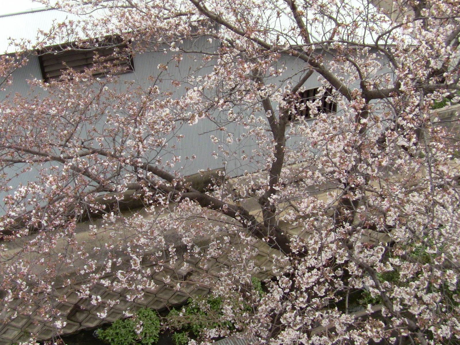 桜は、五分咲きかも