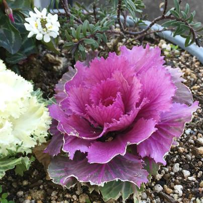 赤紫の花が鉢植えに植わっています。