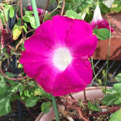 鉢植えに赤紫の朝顔が一輪咲いています。