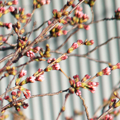 桜20150325