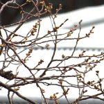 桜はもう少し!