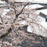 今日の桜 満開です!