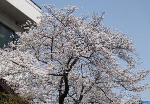 木にほぼ満開の桜が、淡く綺麗に咲いています。