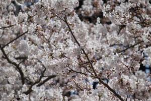 快適空間スクリオ・神崎(株)の桜をアップにして写しています。