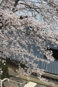 神崎(株)・快適空間スクリオの桜を会社の3階から撮影したようす。その2