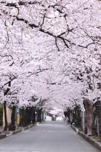 幅5メートルほどの道路の両脇に、太めの幹が並び、そこに咲く満開の桜で道路を覆ってトンネルができています。