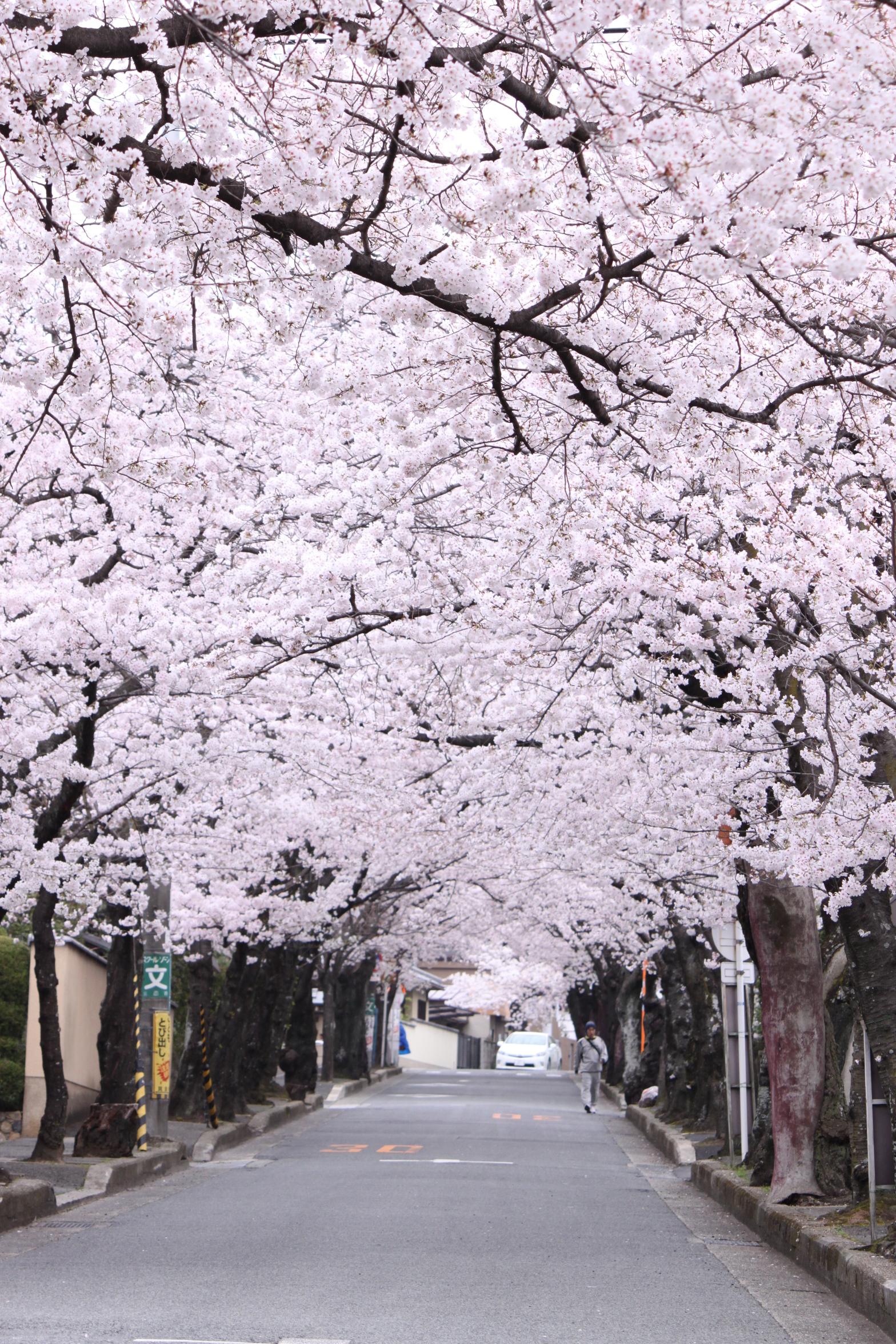 箕面五丁目、桜のトンネル