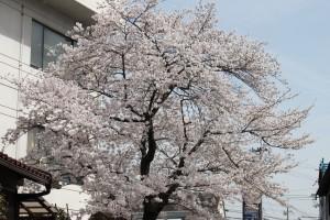 画面左に白いビル、その右側に植わる桜が、川を覆うように枝を伸ばしています。 width=