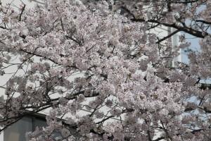 枝にはたくさんの桜が咲いています。