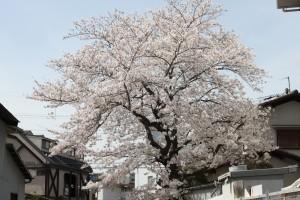 画面に右に白いビル、その左側に植わる桜が、川を覆うように枝を伸ばしています。