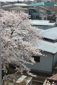 倉庫を背景に満開の桜が画面の左に写っています。