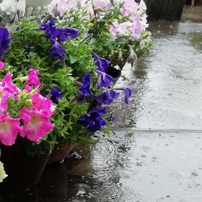 当社の屋上で、雨に濡れるコンクリートの上で素焼きの植木鉢に花々が植わっていて、今日の雨に濡れています