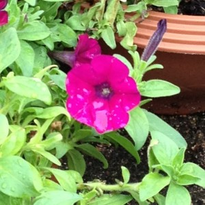 植木鉢の脇に、赤いペチュニアが1輪、咲いています。
