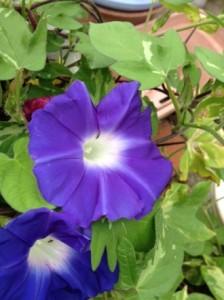 紫の朝顔が二輪、その周囲には緑の葉っぱが写っています。
