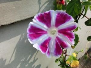 薄紫の朝顔が一輪