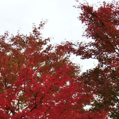 木の下から空を見上げるように紅葉を撮影しています。