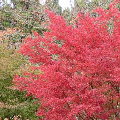 真っ赤に色づく紅葉を真横から撮影しています。