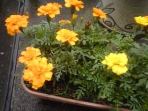 我が家にある雨上がりの鉢植え、その1