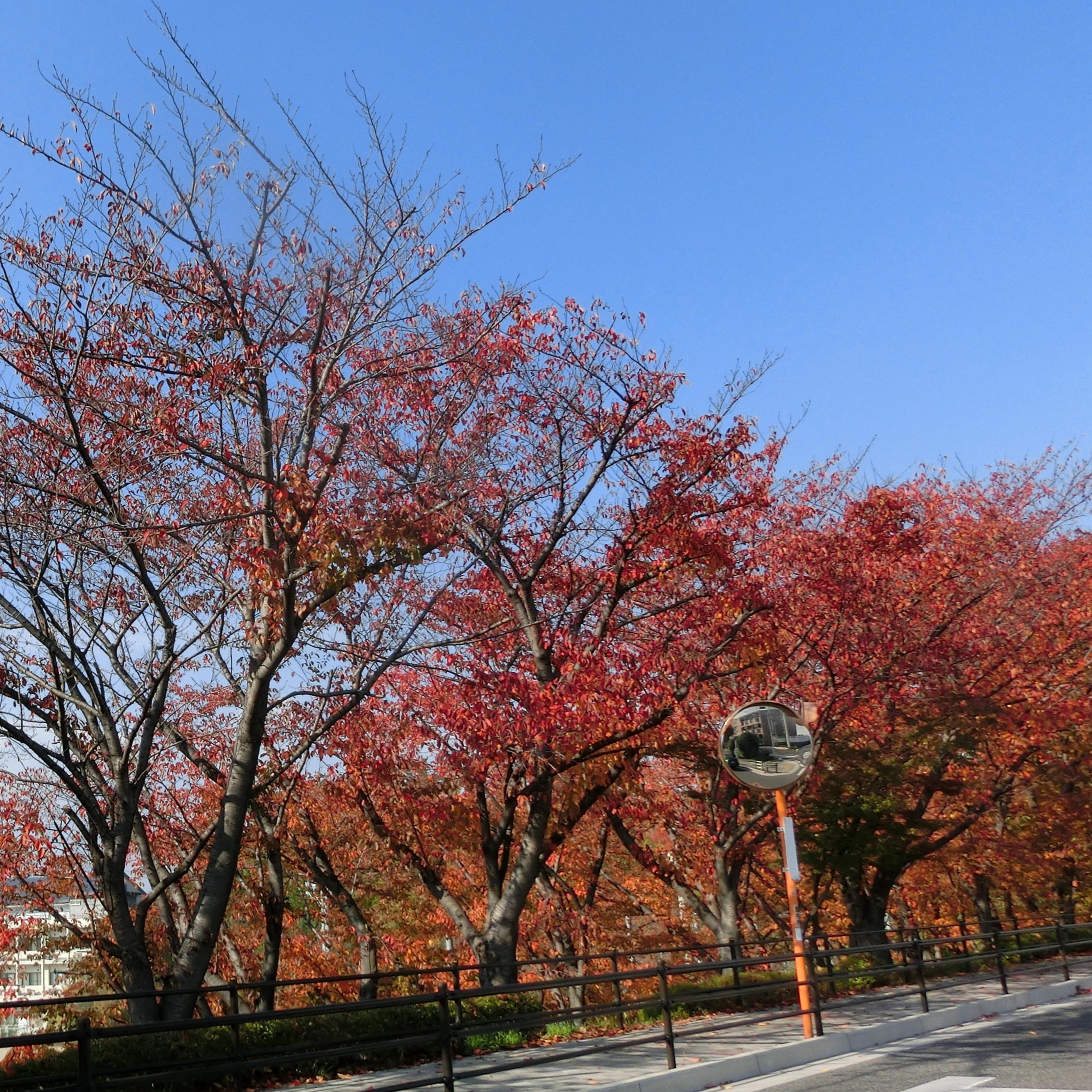待兼山の紅葉、散りつつるけれど